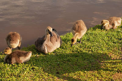 Photograph - Goslings Basking In The Sunset by Chris Flees