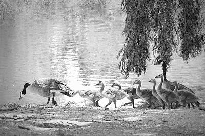 Photograph - Goslings Bw8 by Clarice Lakota