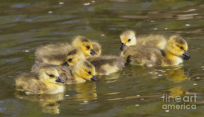 Photograph - Goslings by Elizabeth Winter