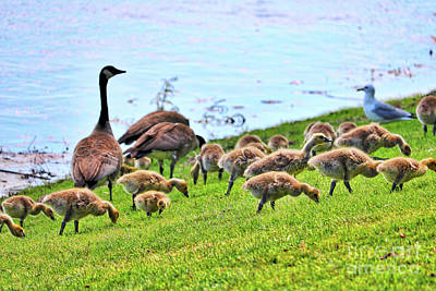 Photograph - Goslings Galore by Carol Groenen