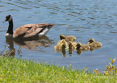 Baby Bird Photograph - Goslings Gathering by Carol Groenen