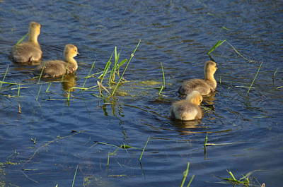 Photograph - Goslings by Janice Adomeit