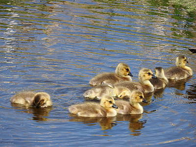 Photograph - Goslings N0.6336 by Janice Adomeit