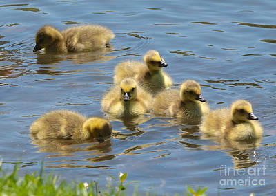 Photograph - Goslings On Lake Ella by Carol Groenen