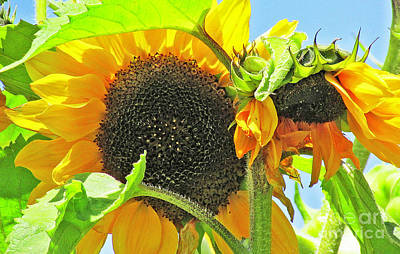 Photograph - Gospel Flat Sunflowers by Joyce Creswell