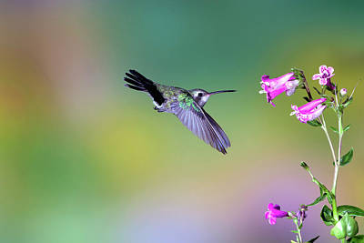Broadbilled Hummingbirds Photograph - Gossamer by Janet Fikar