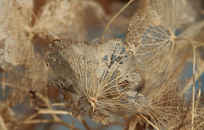 Frail Photograph - Gossamer - Lace by Connie Handscomb