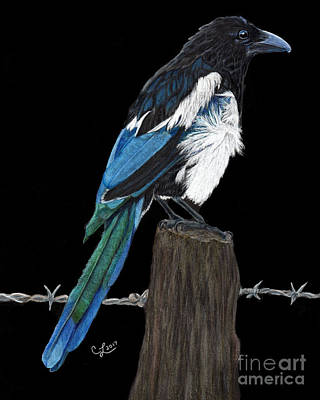 Magpies Drawing - Gossip Monger by Cathleen Lengyel