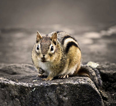 Chipmunk Photograph - Got Nuts by Evelina Kremsdorf