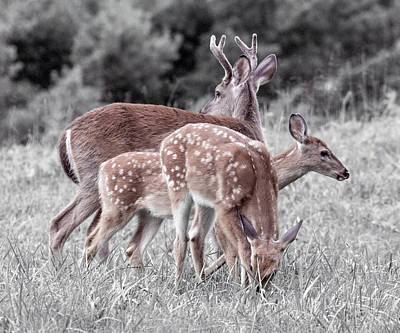 White-tailed Buck Photograph - Humor Got Some Doe And Two Bucks by Betsy Knapp
