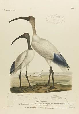 Ibis Painting - Gottfried Ehrenberg by MotionAge Designs