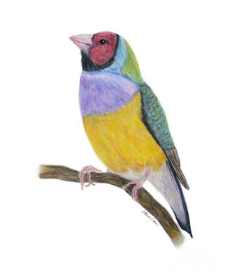 Painting - Gouldian Finch Colored Pencils by Olga Hamilton