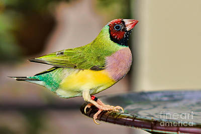 Photograph - Gouldian Finch by Olga Hamilton