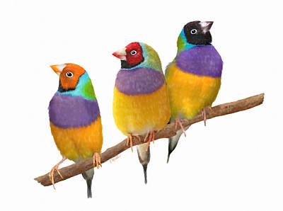 Pastel - Gouldian Finches by Kathie Miller