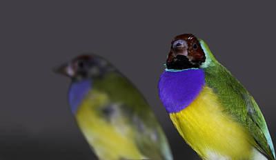 Australian Photograph - Gouldian Or Rainbow Finch by Mr Bennett Kent