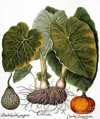 Photograph - Gourd, Taro, & Pumpkin by Granger