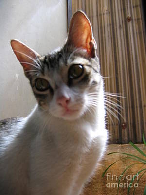 Photograph - Gowrie The Cat by Asha Sudhaker Shenoy