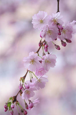Photograph - Grace Of Sakura. Spring Pastels by Jenny Rainbow