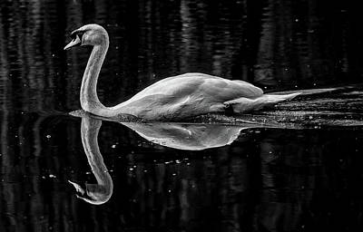Photograph - Grace Of The Swan by Cliff Norton