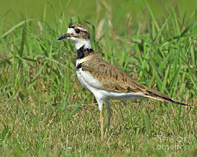 Photograph - Graceful And Fast Plover by Kathy M Krause