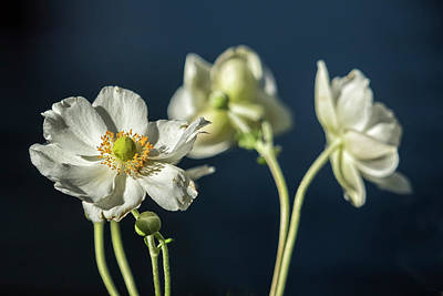 Photograph - Graceful Anemones, No. 1 by Belinda Greb