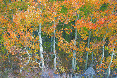 Photograph - Graceful Aspens - Eastern Sierra California by Ram Vasudev