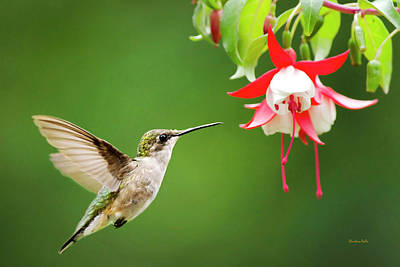 Photograph - Graceful Hummingbird by Christina Rollo