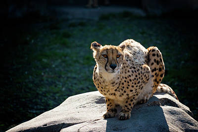 Photograph - Graceful Cheetah by Travis Rogers