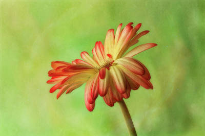 Photograph - Graceful Daisy by Mary Jo Allen