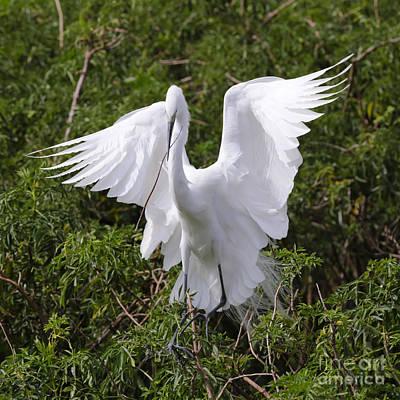Graceful Egret Nest Builder Print by Carol Groenen