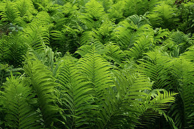 Photograph - Graceful Ferns In More Than Fifty Shades Of Green by Georgia Mizuleva