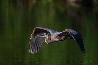 Great Blue Heron Photograph - Graceful Flight by Everet Regal