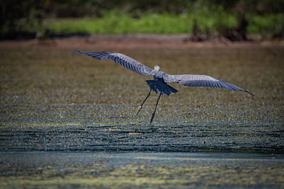 Photograph - Graceful Flight by Ray Congrove