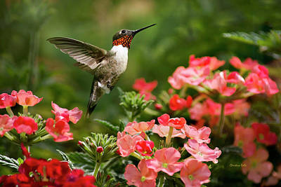 In Flight Photograph - Graceful Garden Jewel by Christina Rollo
