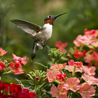 Photograph - Graceful Garden Jewel Hummingbird Square by Christina Rollo