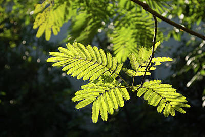Photograph - Graceful Lace - Spotlit Mimosa Leaves by Georgia Mizuleva