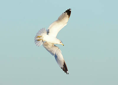 Photograph - Graceful Ring-billed Gull by Ram Vasudev
