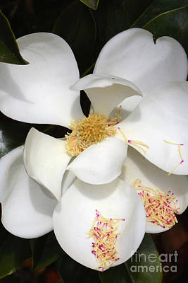 Photograph - Graceful Southern Magnolia by Carol Groenen