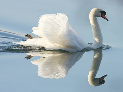 Water Reflections Photograph - Graceful Swan by Andrew Steele