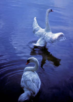 Photograph - Graceful Swans by Marie Hicks