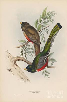 Painting - Graceful Trogon by Celestial Images
