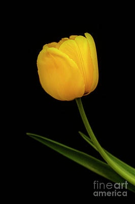 Photograph - Graceful Tulip by Scott Kemper