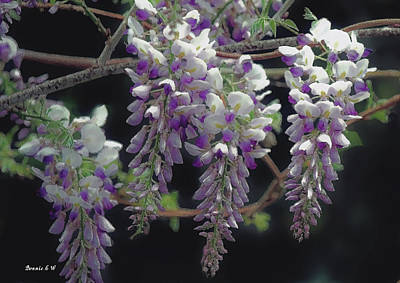 Photograph - Graceful Wisteria by Bonnie Willis