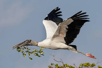 Photograph - Graceful Wood Stork by Phil Stone