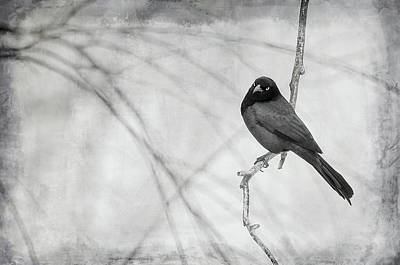 Photograph - Grackle -  Black And White by Susan McMenamin