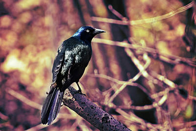 Photograph - Grackle In The Forest by Shawna Rowe