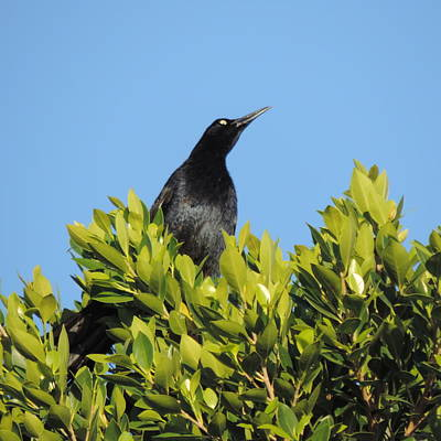Photograph - Grackle In The Tree Top by Bill Tomsa