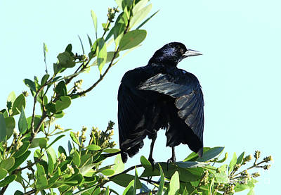 Photograph - Grackle Morning Pose by Deborah Benoit