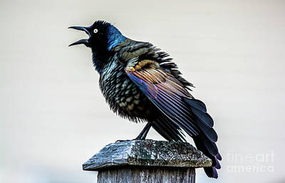 Photograph - Grackle On Display by Cheryl Baxter