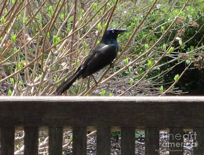 Photograph - Grackle On Fence by Kathie Chicoine